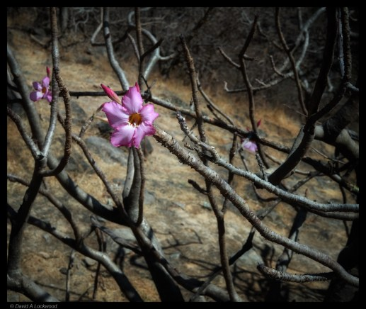 Flower - Dhofar